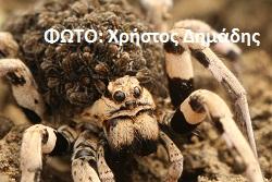 Αράχνη λύκος (Lycosidae) (4)