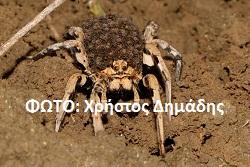 Αράχνη λύκος (Lycosidae) (5)