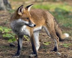 Παρατείνεται έως τις 20 Δεκεμβρίου το πρόγραμμα εμβολιασμού των αλεπούδων κατά της λύσσας