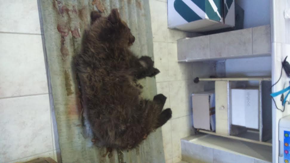 Σε κρίσιμη κατάσταση το αρκουδάκι που πυροβολήθηκε στο Μέτσοβο