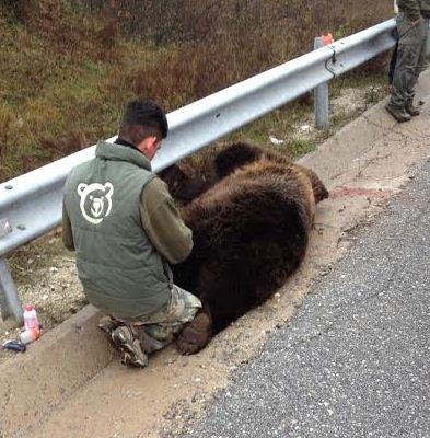Τέταρτη νεκρή αρκούδα σε τροχαίο το 2014