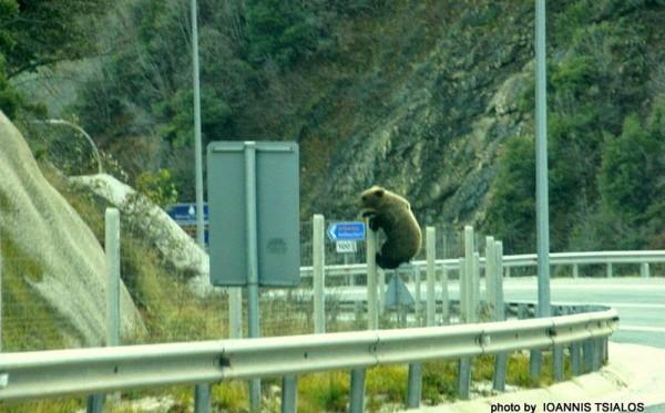 Μέτσοβο : Το πανέμορφο αρκουδάκι της Εγνατίας Οδού