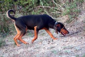 Κυνήγι λαγού στα Γρεβενά με κυνηγόσκυλα ΄΄γκέκας΄΄ (video)