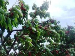 Αμυγδαλιές : Ένα χωριό που παράγει 100 τόνους κεράσια κάθε χρόνο. Κερασώνες με 20.000 δένδρα