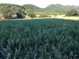 Πτολεμαϊδα- Καλλιέργεια ρίγανης υψηλών προδιαγραφών, από νέους παραγωγούς