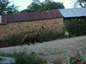 """Αρκούδα """"βολτάρει"""" εντός του οικισμού στην Χρυσαυγή Βοΐου (Φωτογραφία)"""