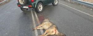 Νεκρός λύκος από τροχαίο σε επαρχιακή οδό του Ν. Γρεβενών