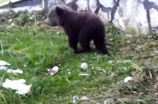 Δείτε βίντεο το μικρό αρκουδάκι που έχει τρελάνει τους Καστοριανούς!