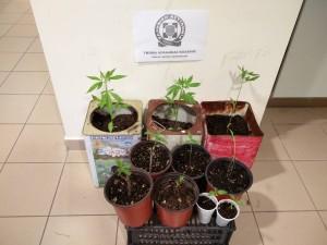 Συνελήφθη 49χρονος ημεδαπός σε περιοχή της Κοζάνης για καλλιέργεια δενδρυλλίων κάνναβης