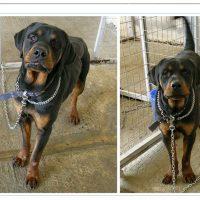 Δήμος Κοζάνης :Ξεκίνησε η αποστολή ενημερωτικών επιστολών προς τους ενδιαφερόμενους για την υιοθεσία των σκύλων ροτβάιλερ