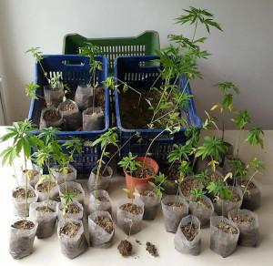 Πτολεμαϊδα: Είχαν μικρό…κήπο με χασίς-Κατασχέθηκαν 42 δεντρύλλια κάνναβης-Φωτογραφία