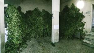 Γρεβενά: Πατέρας και γιος είχαν δεκάδες χασισόδεντρα ύψους άνω των 3 μέτρων! (ΦΩΤΟ)