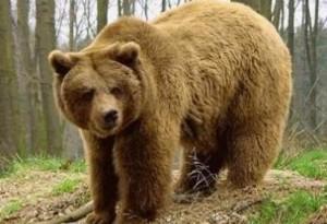 Εφαρμογή διαχειριστικών μέτρων αντιμετώπισης περιστατικών εμφάνισης αρκούδωνστις πόλεις της Φλώρινας και της Καστοριάς
