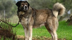 Καρδίτσα: Τσοπανόσκυλα επιτέθηκαν και τραυμάτισαν τρία κοριτσάκια