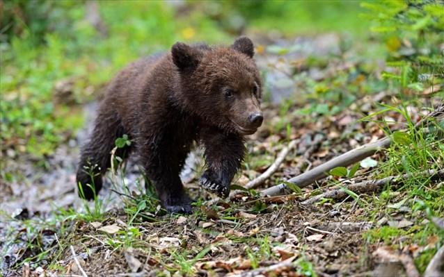 Πριν από λίγο : Αρκουδάκι έκανε βόλτες στην πόλη των Γρεβενών