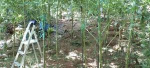 Αλβανία: Η καλλιέργεια χασισόδεντρων αυξήθηκε φέτος κατά 25%