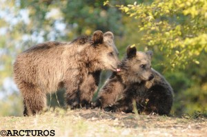 Δύο αρκουδάκια αναστάτωσαν το κέντρο της Καστοριάς.