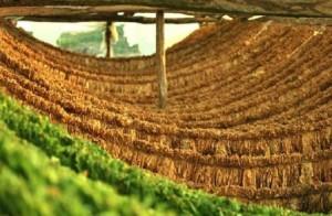 Π.Ε. Γρεβενών: Οι αναλυτικές καταστάσεις πληρωμής έτους 2014, του προγράμματος  «Αμειψισπορά με ξηρικές καλλιέργειες σε καπνοπαραγωγικές περιοχές»