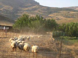 Έκτακτη ενίσχυση 10 ευρώ/ζώο για αιγοπροβατοτρόφους που δηλώνουν ως αγελαία μορφής την εκμετάλλευσή τους