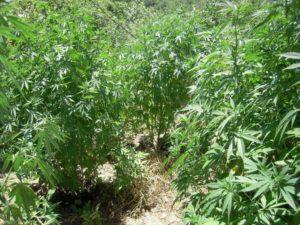 Γρεβενά:Εντοπίστηκαν δύο φυτείες με συνολικά -137- δενδρύλλια κάνναβης, σε δασώδεις περιοχές.Συνελήφθη 52χρονος ημεδαπός ως καλλιεργητήςτης μίας εξ αυτών