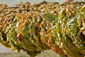 Αναλυτικές καταστάσεις πληρωμής έτους 2015 του προγράμματος «Αμειψισπορά με ξηρικές καλλιέργειες σε καπνοπαραγωγικές περιοχές»