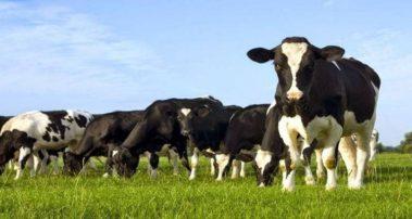 Φλώρινα: Eισήλθαν παράνομα στη χώρα, με κοπάδι 25 βοοειδών, προκαλώντας φθορές σε καλλιέργειες