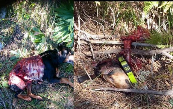 Επιθέσεις λύκων σε κυνηγόσκυλα στους Φιλιππαίους (φωτογραφίες)