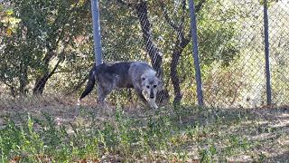 Δύο πρώην αιχμάλωτοι Λύκοι στο καταφύγιο του Αρκτούρου