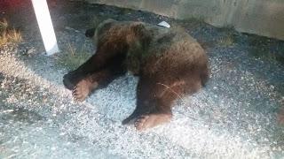 Δεύτερο τροχαίο με αρκούδα στο ίδιο σχεδόν σημείο της Εγνατίας μέσα σε….δυο ημέρες!