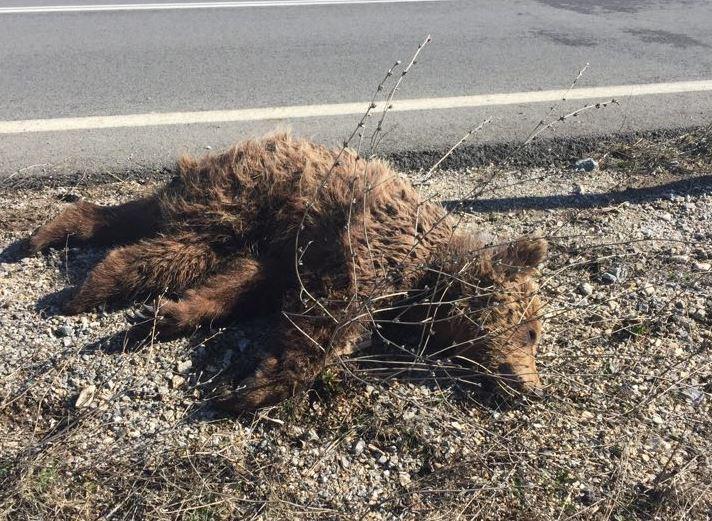 Βατερό Κοζάνης: Νεκρό αρκουδάκι – Το παρέσυρε αυτοκίνητο (Φωτογραφίες & Bίντεο)