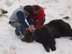 Ξύπνησε από τον χειμέριο λήθαργο η αρκούδα που είχε διασωθεί ανήμερα των Χριστουγέννων του 2017