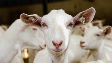 Έως αύριο η υποβολή υποβολής αιτήσεων στη βιολογική κτηνοτροφία