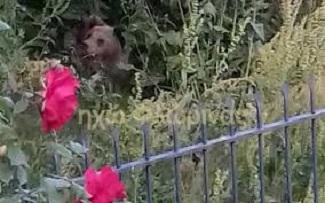 Αρκούδα με τα δύο μικρά της βρήκε καταφύγιο σε αυλή σπιτιού στη Δροσοπηγή Φλώρινας
