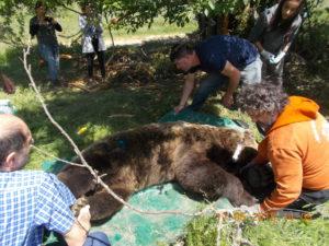 Η Καλλιστώ  «επικοινωνεί» με αρκούδες του Αμυνταίου! Ραδιοσήμανσης αρκούδων στην δασική περιοχή του Δήμου Αμυνταίου