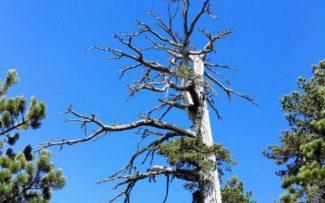 Που βρίσκεται το γηραιότερο δέντρο στην Ευρώπη