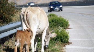 Αγελάδα, στην Εγνατία οδό, μεταξύ Κοζάνης – Βέροιας