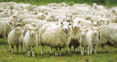 Δεσκάτη: Συνέλαβαν κτηνοτρόφο (!!!) για αναγνώριση στοιχείων με αποτέλεσμα οι λύκοι να κατασπαράξουν 50 πρόβατα