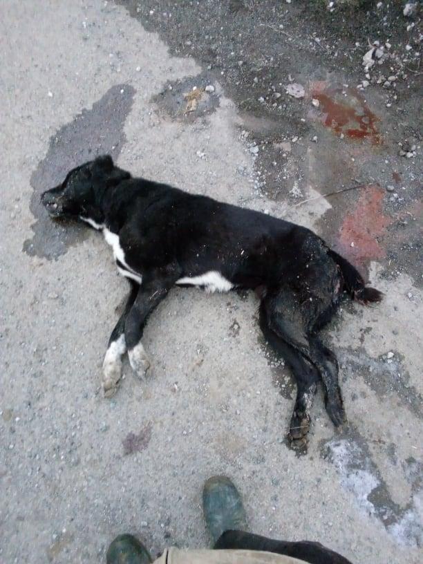 Άγνωστοι δηλητηρίασαν τρία τσομπανόσκυλα στην Κρανιά με δολώματα