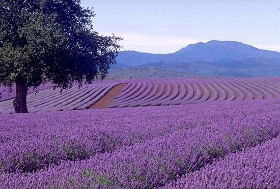 Λεβάντα, μια καλλιέργεια που κερδίζει συνεχώς έδαφος στην Ελλάδα