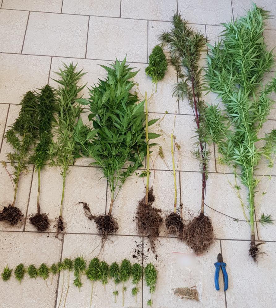 Συνελήφθη 35χρονος ημεδαπός σε περιοχή της Εορδαίας για καλλιέργεια 8 δενδρυλλίων κάνναβης
