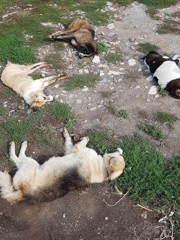 Οργή: Το Σκλήθρο Φλώρινας γέμισε με πτώματα δηλητηριασμένων σκύλων