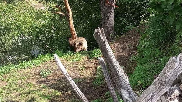 Αρκουδάκι παγιδεύτηκε σε παράνομη συρμάτινη θηλιά στο Εθνικό Πάρκο Β. Πίνδου