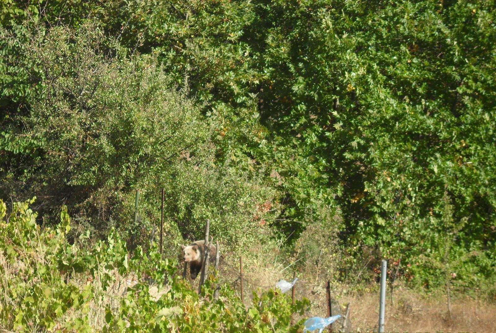 Αρκουδάκι 10 μηνών απεγκλωβίστηκε από παράνομη παγίδα σε αμπελώνα
