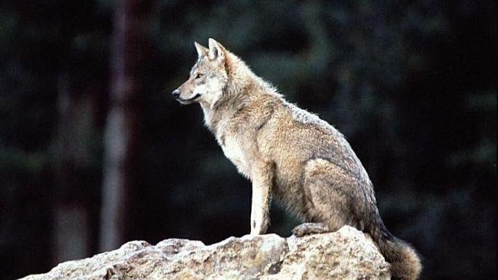 Κάτοικοι κλειδώθηκαν σε καφενείο για να σωθούν από επίθεση λύκων στην Κοζάνη