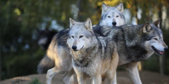 Λαγόσκυλο δέχθηκε θανατηφόρα επίθεση από αγέλη τριών τουλάχιστον λύκων στο Βατερό Κοζάνης