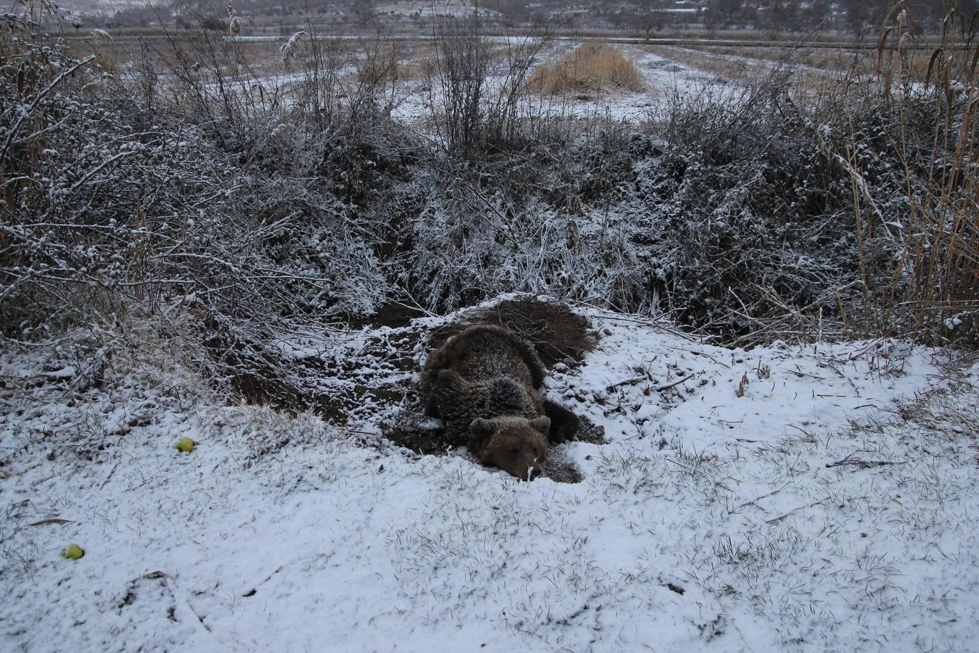 Αρκούδα παγιδεύτηκε σε παράνομη θηλειά για αγριογούρουνα κοντά στον Λευκώνα Πρεσπών