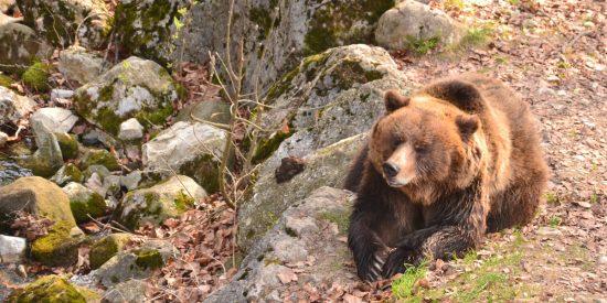 Καστοριά: Με βαριά τραύματα νοσηλεύεται νεαρός που πάλεψε με αρκούδα- Τον έσωσαν τα σκυλιά του
