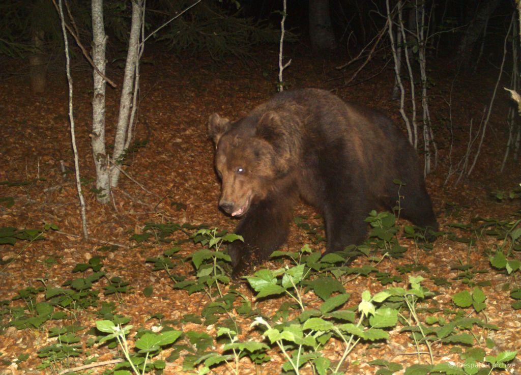Πρέσπες: Αρκούδες και άλλα μεγάλα θηλαστικά… ποζάρουν σε κάμερες