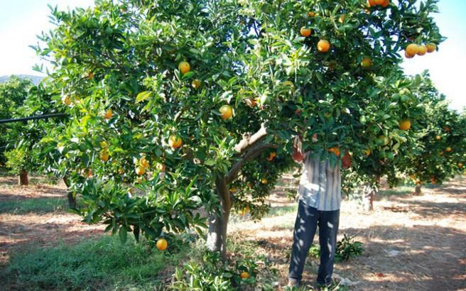 Έκκληση των ελλήνων παραγωγών να εγκριθεί η είσοδος 7.000 εργατών γης από την Αλβανία
