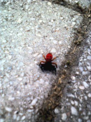 Το πιο σπάνιο είδος αράχνης, παγκοσμίως, στα Γρεβενα (Eresus Cinnaberinus) ή αράχνη πασχαλίτσα (Φωτογραφίες)